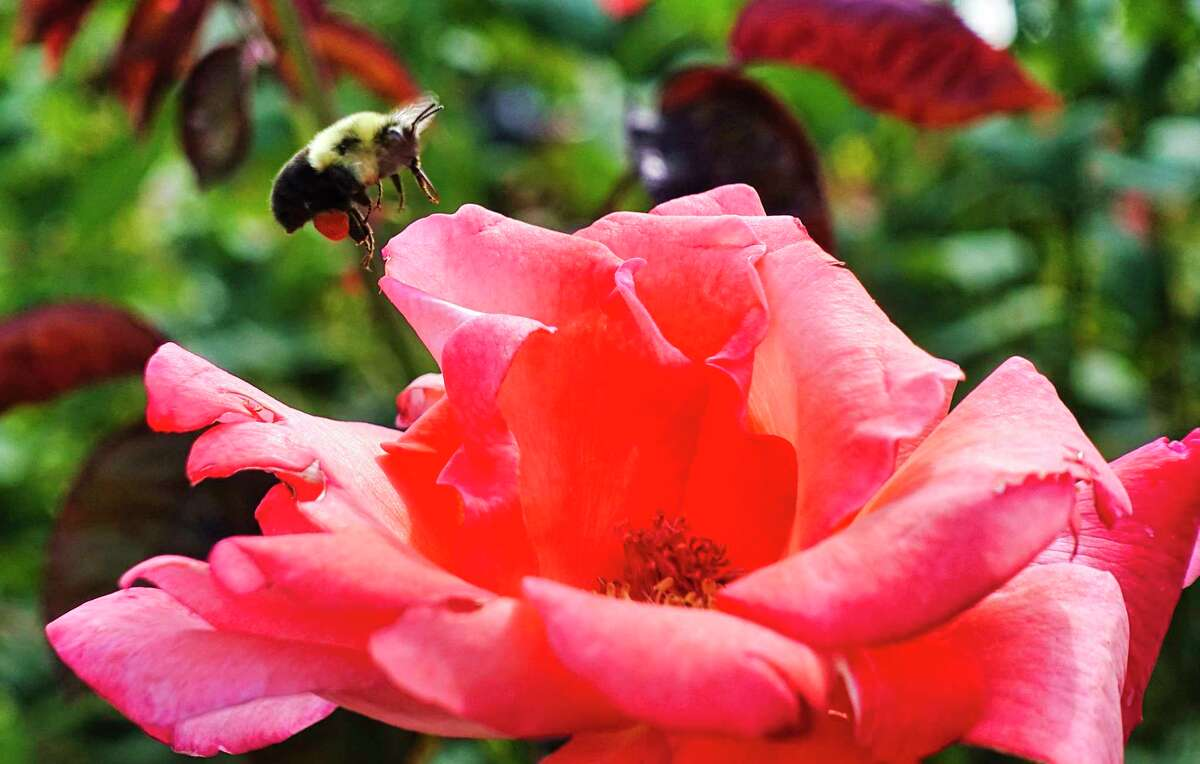 A bee lands on a rose at the Central Park Rose Garden on Monday, August 31, 2020, in Schenectady, N.Y. (Paul Buckowski/Times Union)