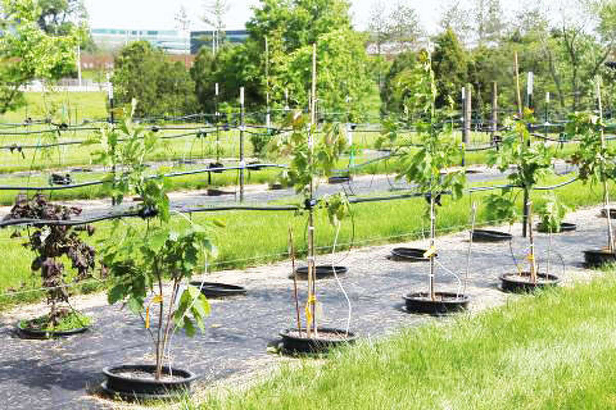 Container grown trees with drip irrigation at the Morton Arboretum in Northern Illinois.