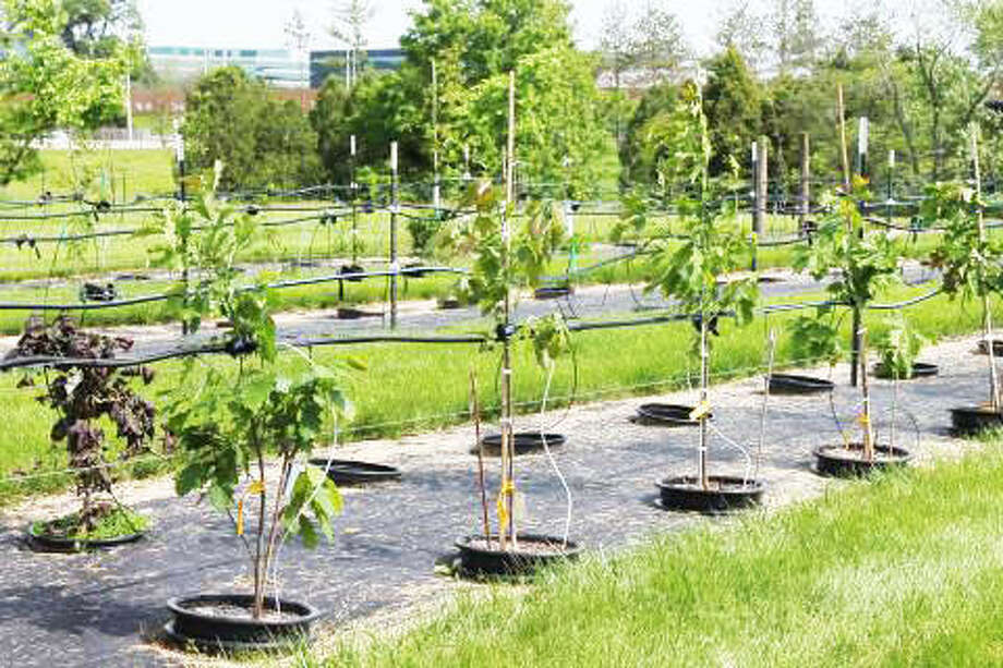 Container grown trees with drip irrigation at the Morton Arboretum in Northern Illinois. Photo: Photo Credit Nancy Kreith|For The Telegraph