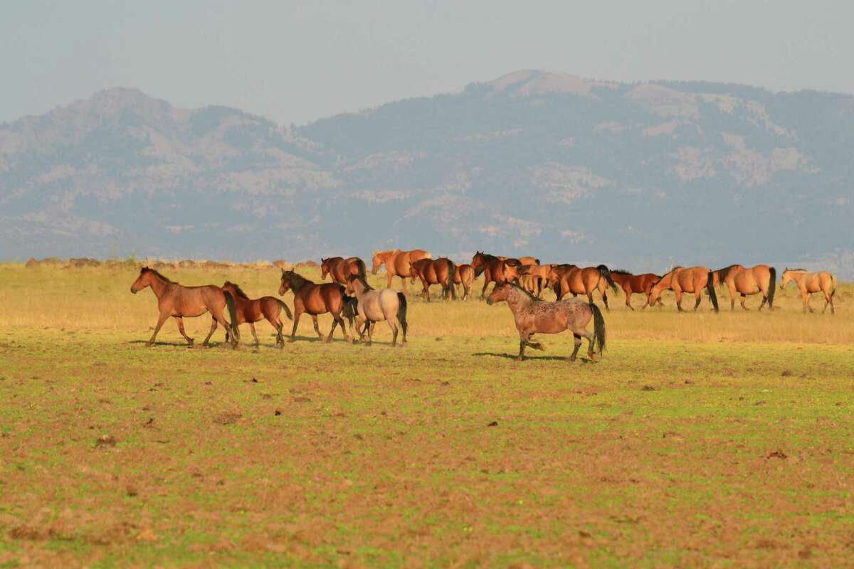 A herd of wild horses known as the Booth-Banner herd, graze and travel in remote Modoc National Forest. The Trump administration is moving to relax regulations for drilling in national forests.