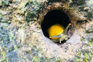 A banana slug, ready for its close-up.