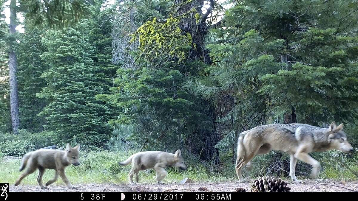 FILE - This June 29, 2017, file remote camera image provided by the U.S. Forest Service shows a female gray wolf and two of the three pups born in 2017 in the wilds of Lassen National Forest in Northern California. (U.S. Forest Service via AP, File)