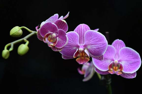 A Phalaenopsis 'Love Letter' orchid