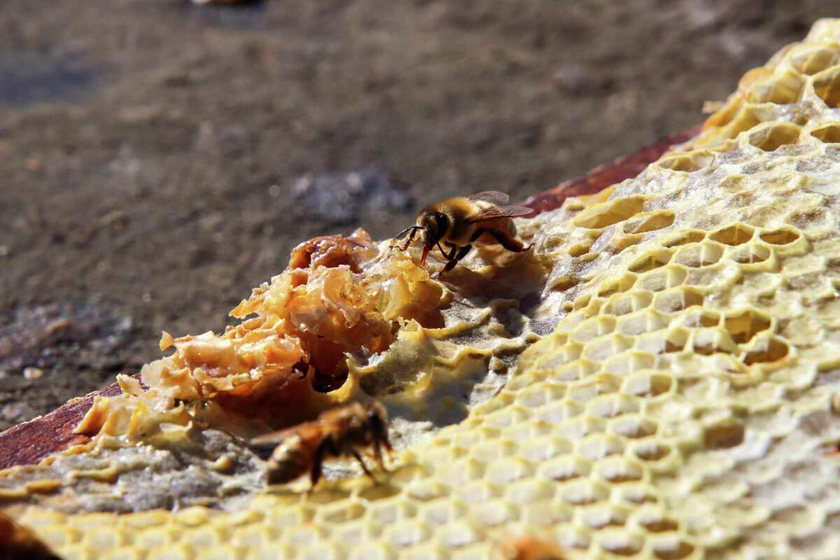 Honey bees drink nectar from the comb.
