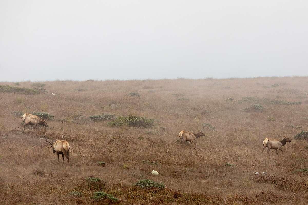 Tule elk roam the hills of the Tomales Point Tule Elk Reserve inside Point Reyes National Seashore.