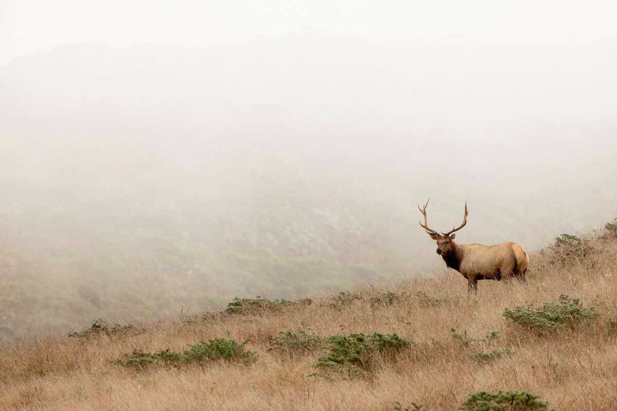 Tule Elk roam the hills of the Tomales Point Tule Elk Reserve inside Point Reyes National Seashore in Inverness, Calif. Friday, August 28, 2020. Park administrators and wildlife advocates are at odds over providing additional water for the captive tule elk herd at the Tomales Point Tule Elk Reserve at Pierce Point. Advocates claim the elk are dying of thirst because five have been found dead recently, the park service says they're just fine. Advocates want park service to full up water troughs but NPS has refused.