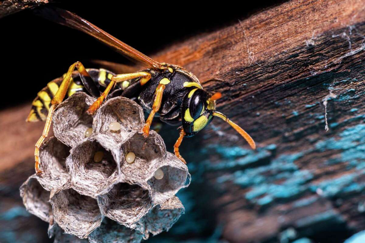 Why is it called a paper wasp? The paper wasp builds a honeycomb shaped paper nest, made from wood fibers gathered and chewed by the insect into a paste-like pulp which it uses with its saliva to build up the hexagonal cells in the structure.