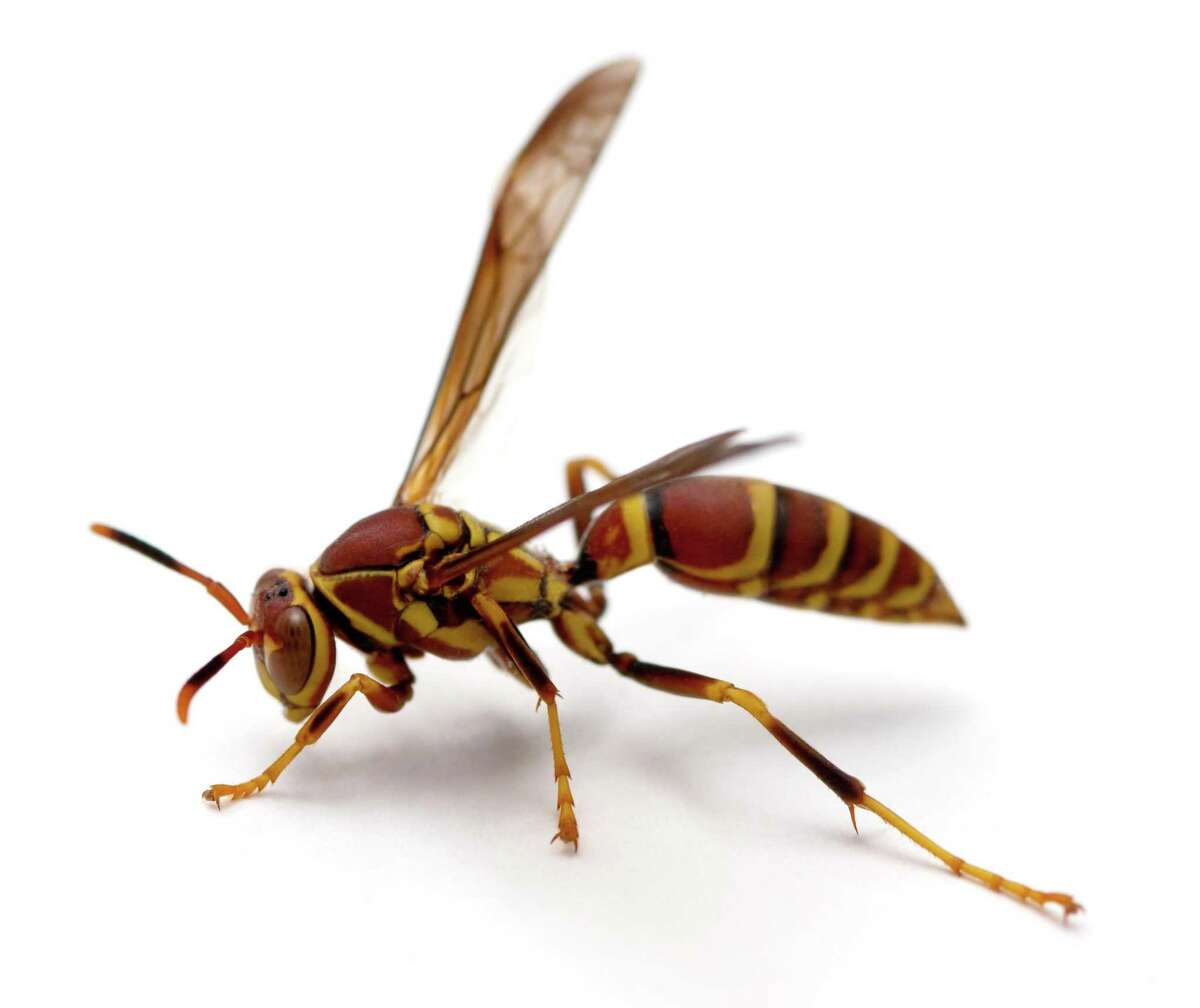 The paper wasp can be red or brown in color.