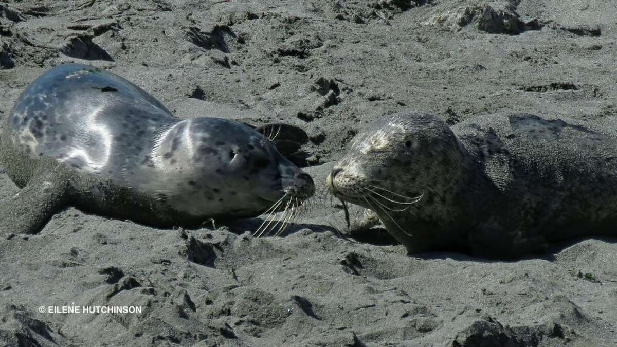 Harbor seals in West Seattle relocated after people touch, harass pups