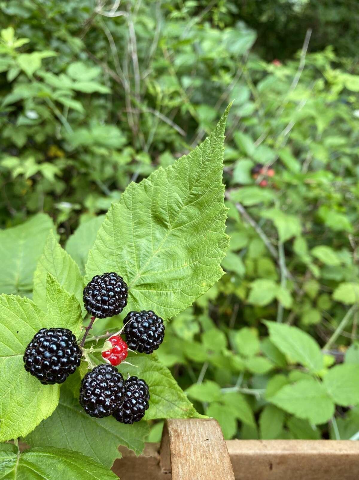 Wild blackberries in Stephanie Gravalese's backyard.