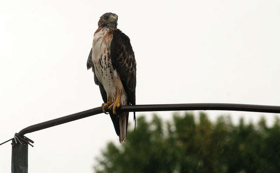 A hawk perched midday Tuesday on some athletic equipment at Illinois School for the Deaf regally endures the rain storm that passed through west-central Illinois. Several types of hawks live in Illinois, including the red-tailed, Cooper's, northern harrier, rough-legged, broad-winged and red-shouldered hawks. Photo: Darren Iozia | Journal-Courier