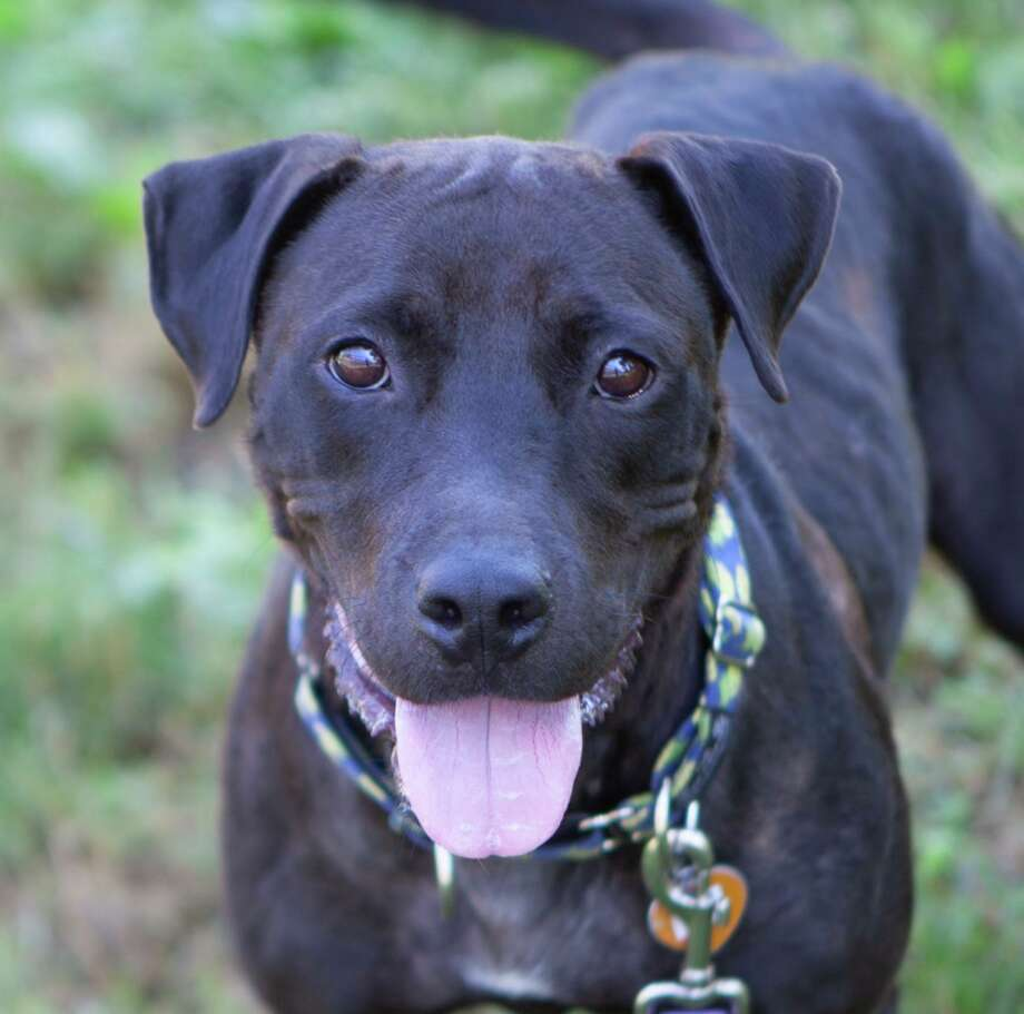 Emily, a 3-year-old black lab mix is seeking a forever home. Photo: Contributed / ROAR-Donofrio Family Animal Shelter