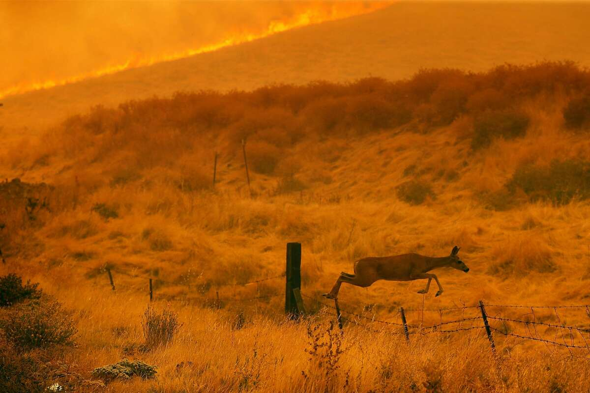 A deer jumps a fence as the LNU Lightning Complex Fire burns along Cantelow Road in Vacaville , Calif., on Wednesday, August 19, 2020.