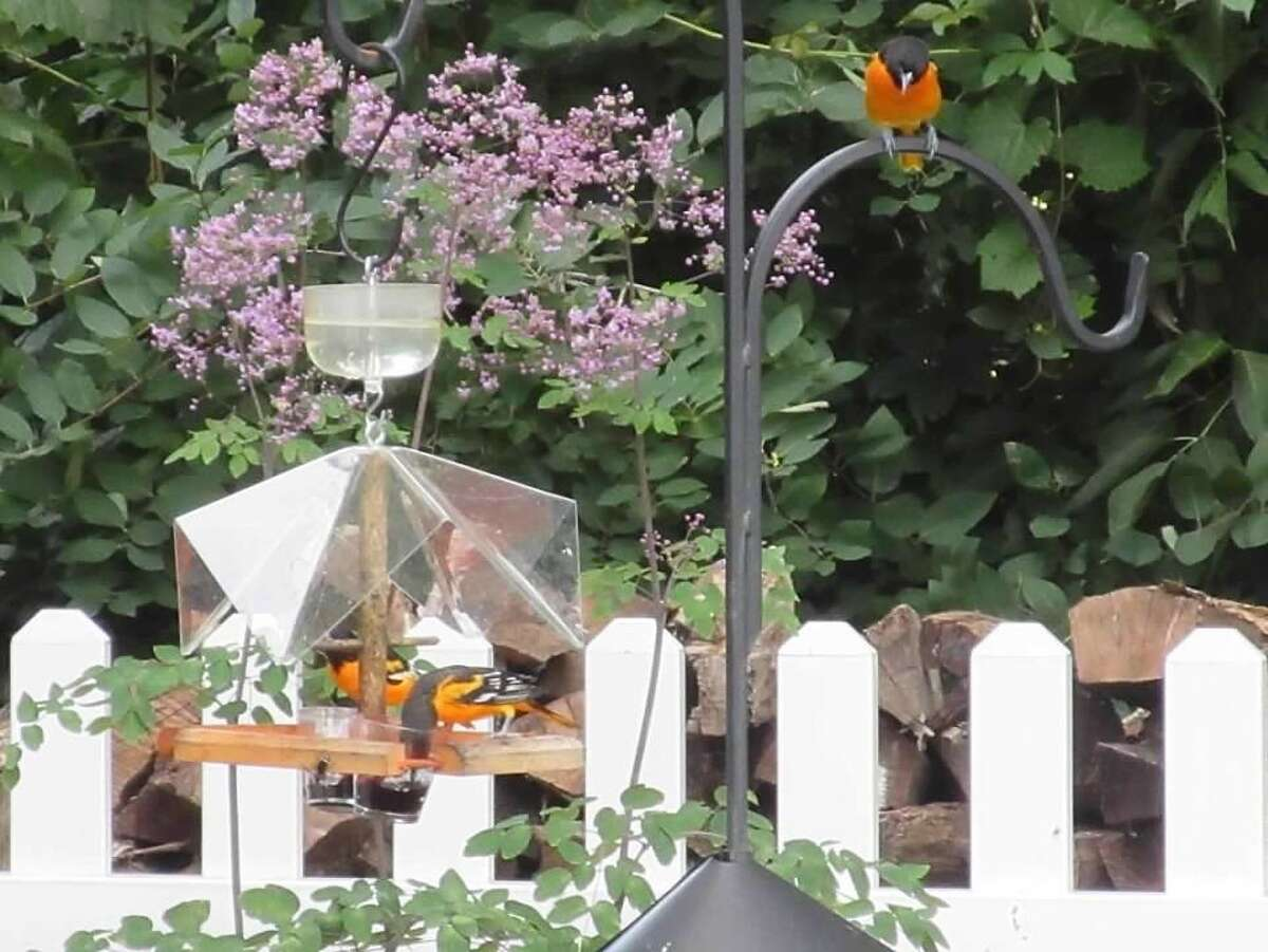 Baltimore orioles visit the backyard of Stephanie Ryan.