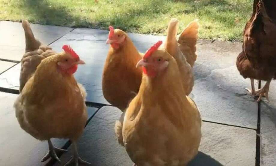 Bil Mikulewicz of Ridgefield and Justin Fusaro of Wilton, aka the Chicken Tenders, discuss the joys of raising backyard chickens in a video (vlog) sponsored by the Cannon Grange Fair. Photo: Cannon Grange Fair Photo