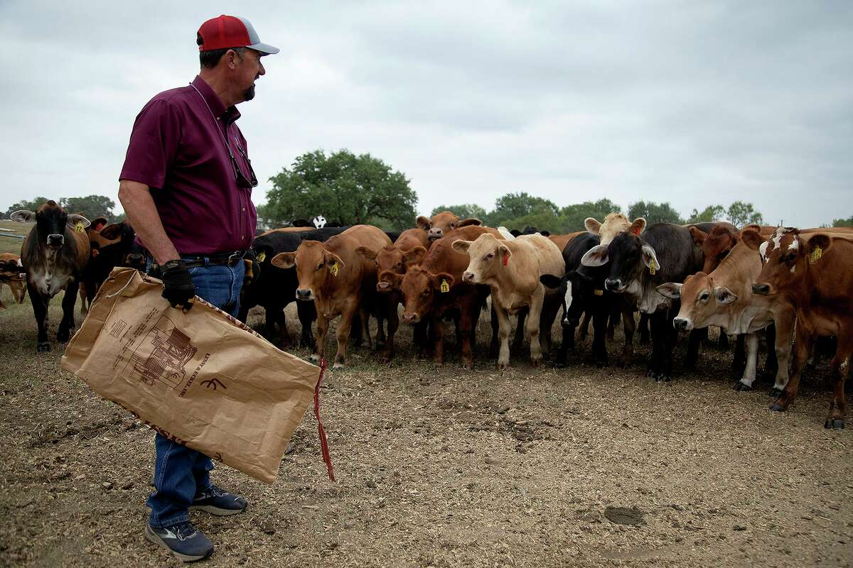 Russell Boening feeds his cows at his farm near Floresville.