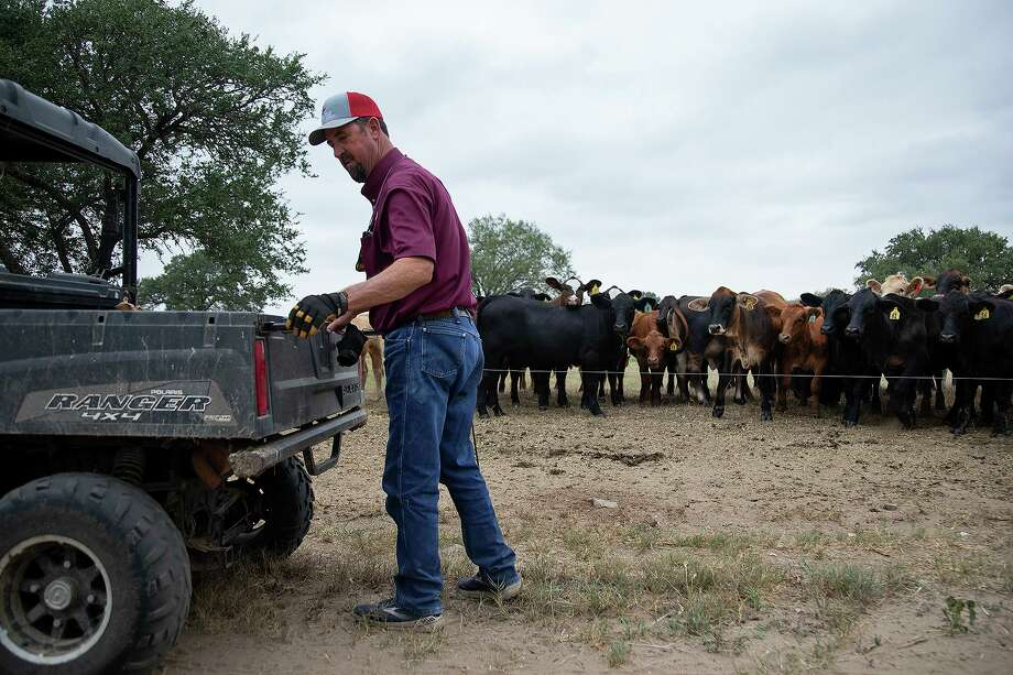 Boening, who's also president of the Texas Farm Bureau, leaves his cows after feeding them. Since the trade deal went into effect in mid-February, Texas farmers and ranchers have seen exports of their products rebound closer to normal levels — driven primarily by large sales of farm goods to China this summer. Photo: Lisa Krantz /Staff Photographer / San Antonio Express-News