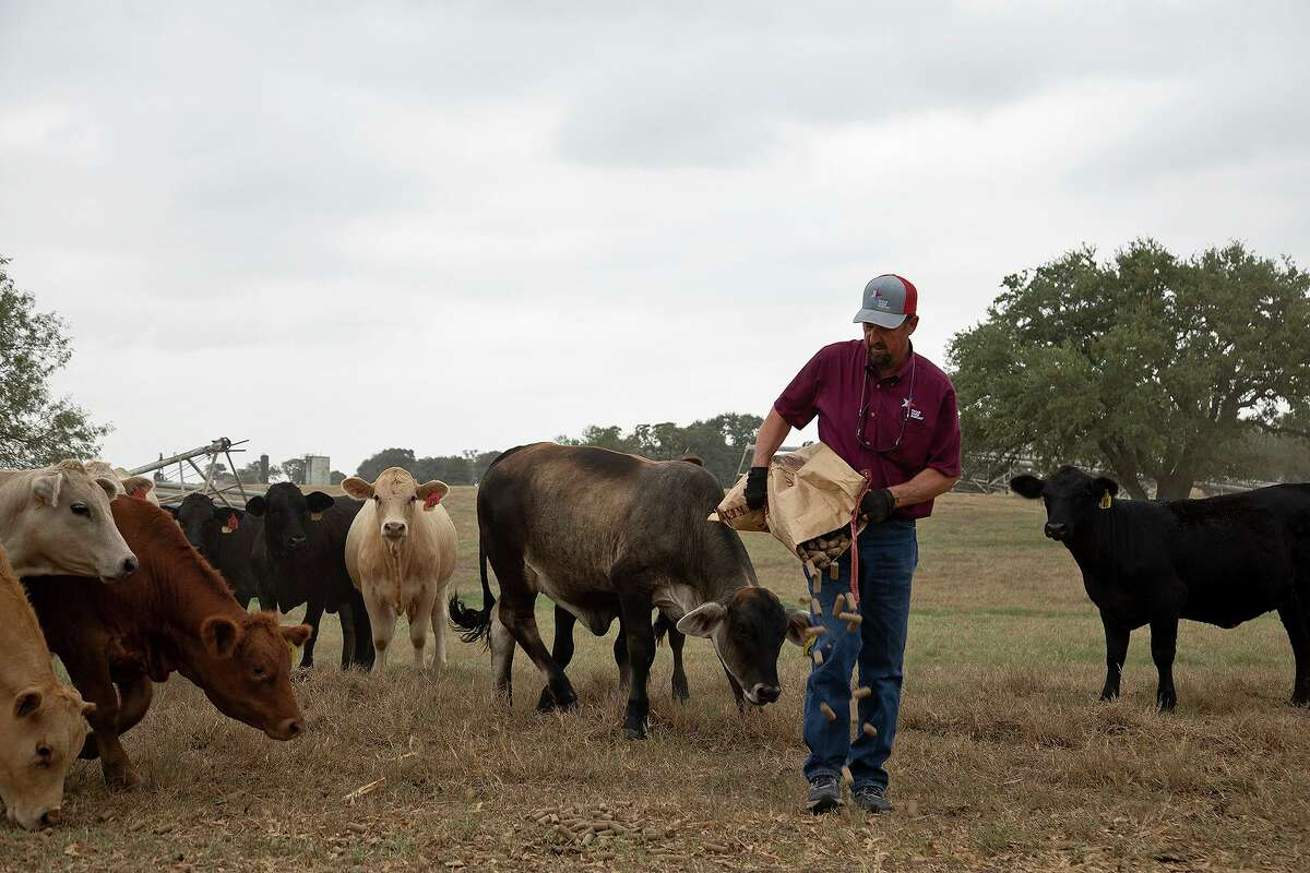 Boening, who also grows crops, puts cubes out for cows to eat. China has ramped up imports of U.S. sorghum, corn, soybeans and cotton in recent months.