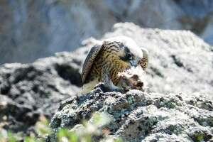 Peregrine falcons in Lake Tahoe.
