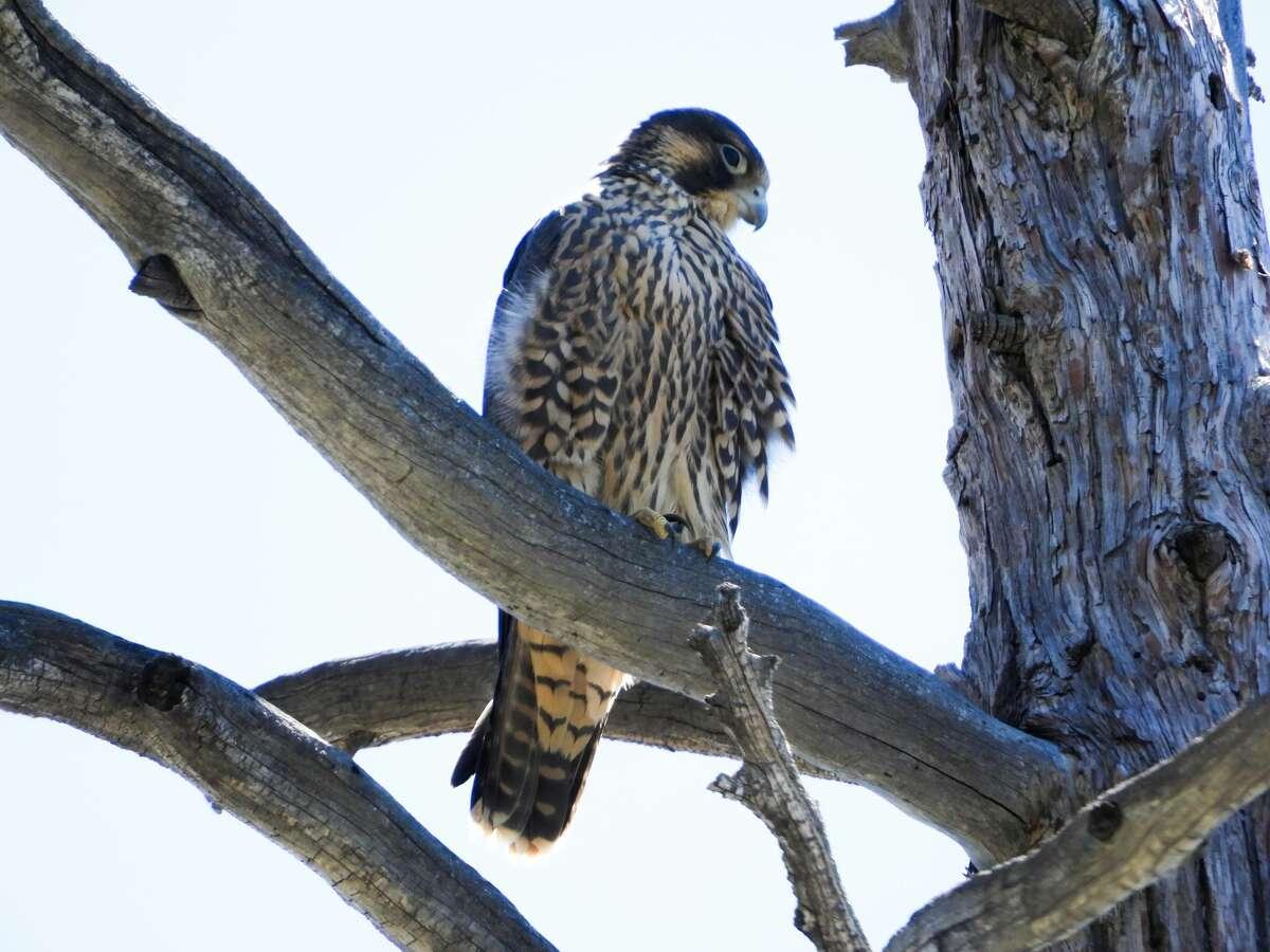 A Peregrine falcon near Lake Tahoe.