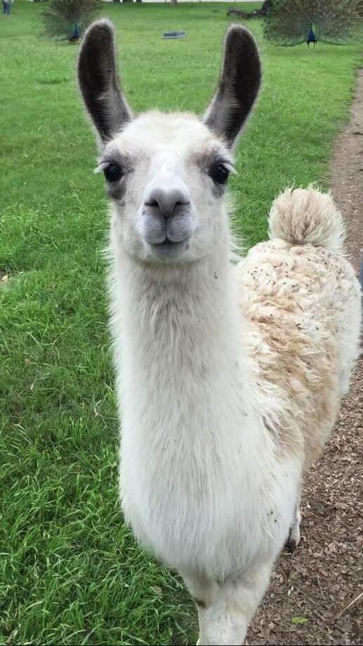 Llamas and alpacas make good pets but they require some special care. Photo: Texas A&M University