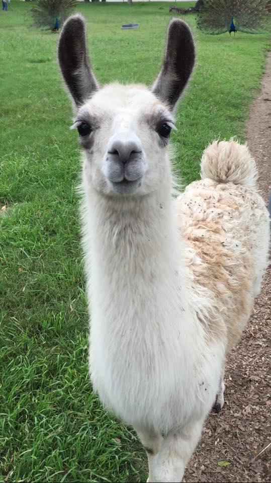 Pet Talk A Whole Llama Fun Alpacas And Llamas As Pets Houstonchronicle Com