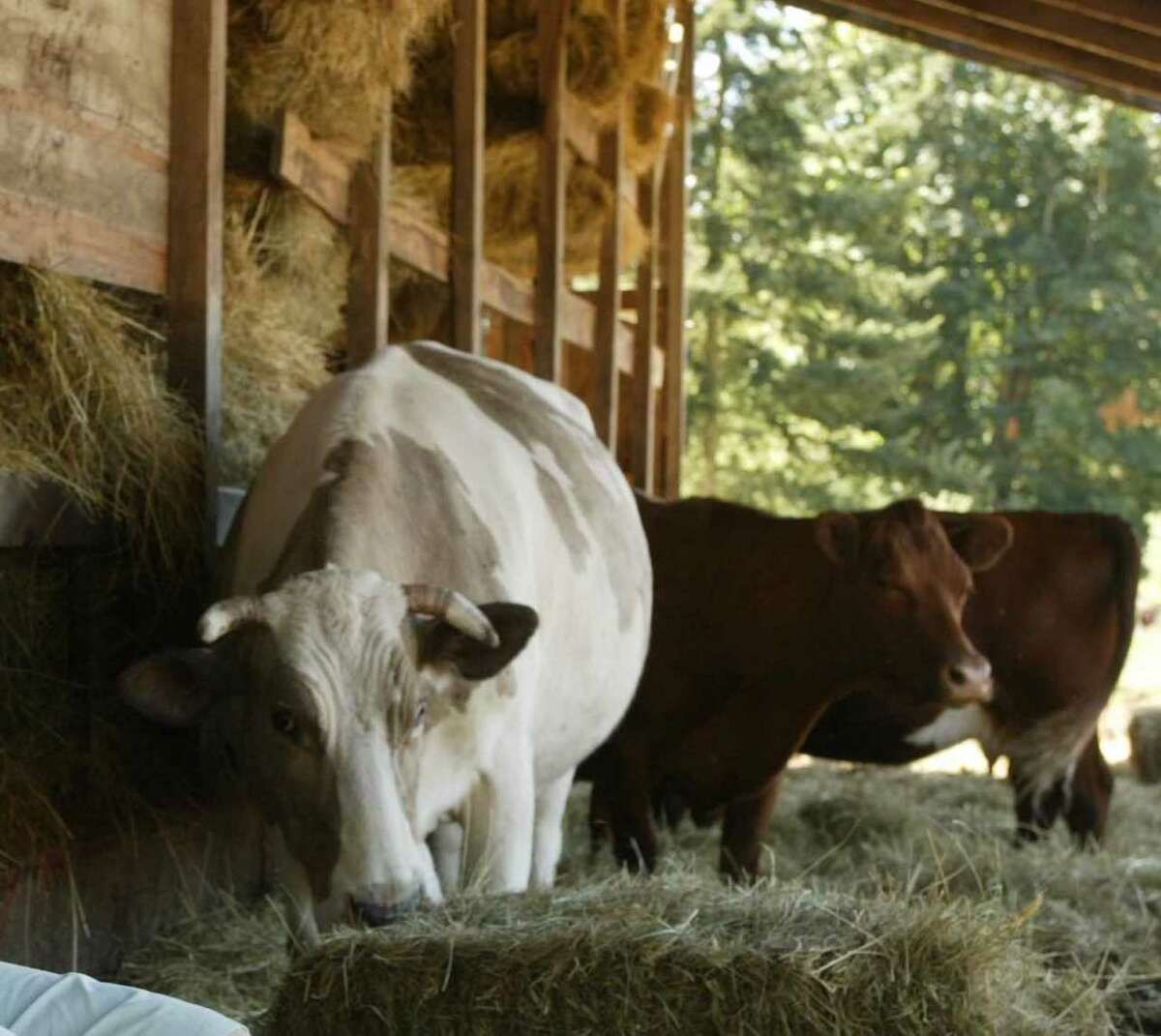 Beefalo on a farm on Camano Island in Washington state. The Facebook post also offered