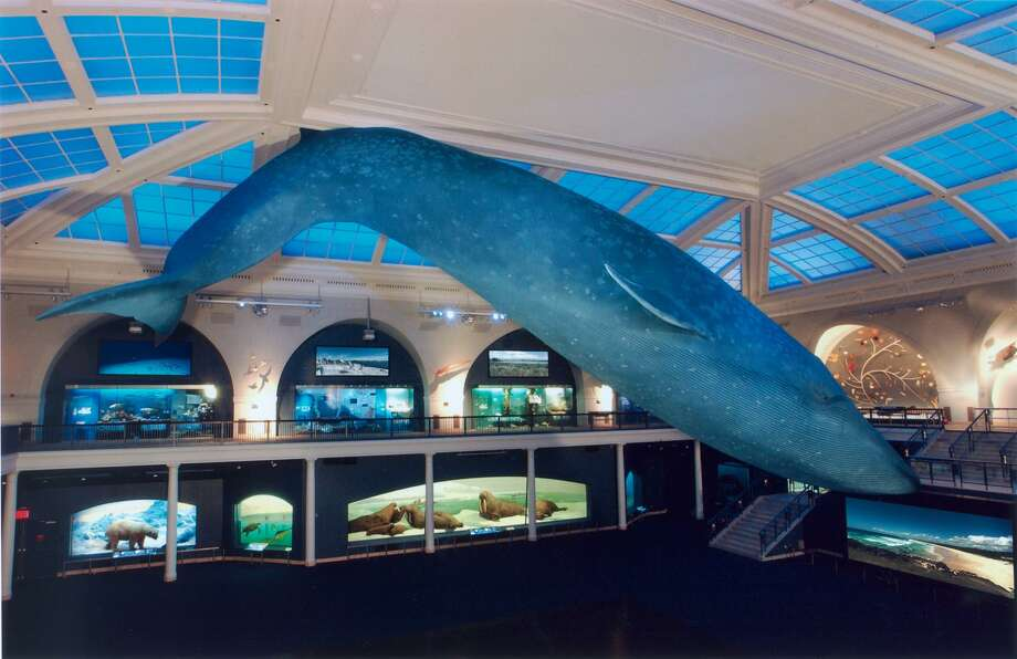 REOPENING: The Hall of Ocean Life will be a popular place again when the American Museum of Natural History in New York City reopens its doors to the general public on Wednesday, Sept. 9, after a long COVID-caused shutdown. Advance ticket reservations are required and are available on amnh.org or through the Museum's Explorer app. Photo: AMNH / Contributed Photo