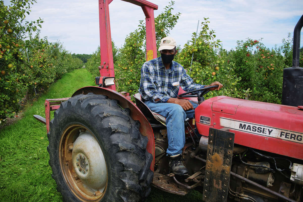 Guest worker Delroy Williams, who is the crew boss, at work in the orchard at Indian Ladder Farms on Thursday, Sept. 3, 2020, in Altamont, N.Y. (Paul Buckowski/Times Union)