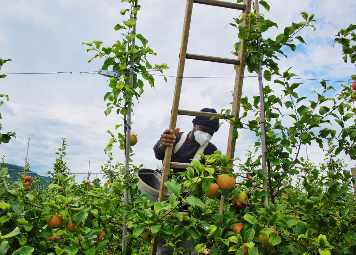 Guest worker Julio Morrison picks apples in the orchard at Indian Ladder Farms on Thursday, Sept. 3, 2020, in Altamont, N.Y. (Paul Buckowski/Times Union)