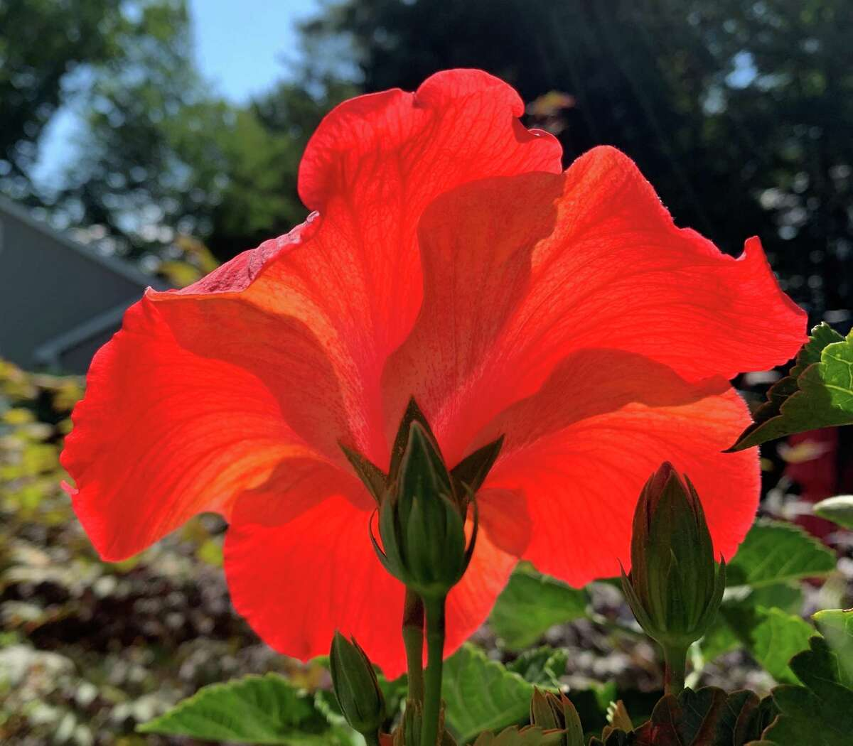 Tim Wiles from Guilderland with a shot of a hibiscus blossom from his backyard in the morning.
