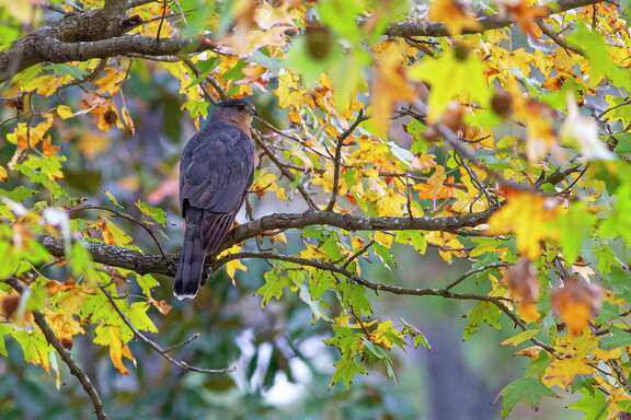 Cooper's hawks are about the size of a crow and have a block-headed appearance. They hunt for songbirds and squirrels in neighborhood yards. Photo Credit: Kathy Adams Clark. Restricted use.