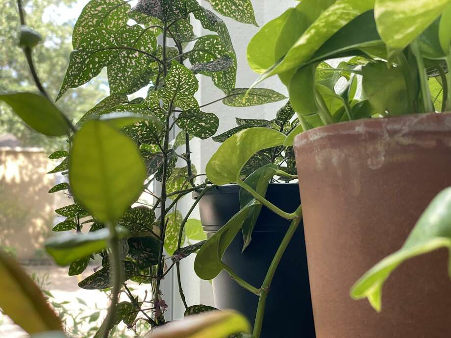 My indoor garden has flourished since the pandemic started. Photo: Jay R. Jordan / Houston Chronicle