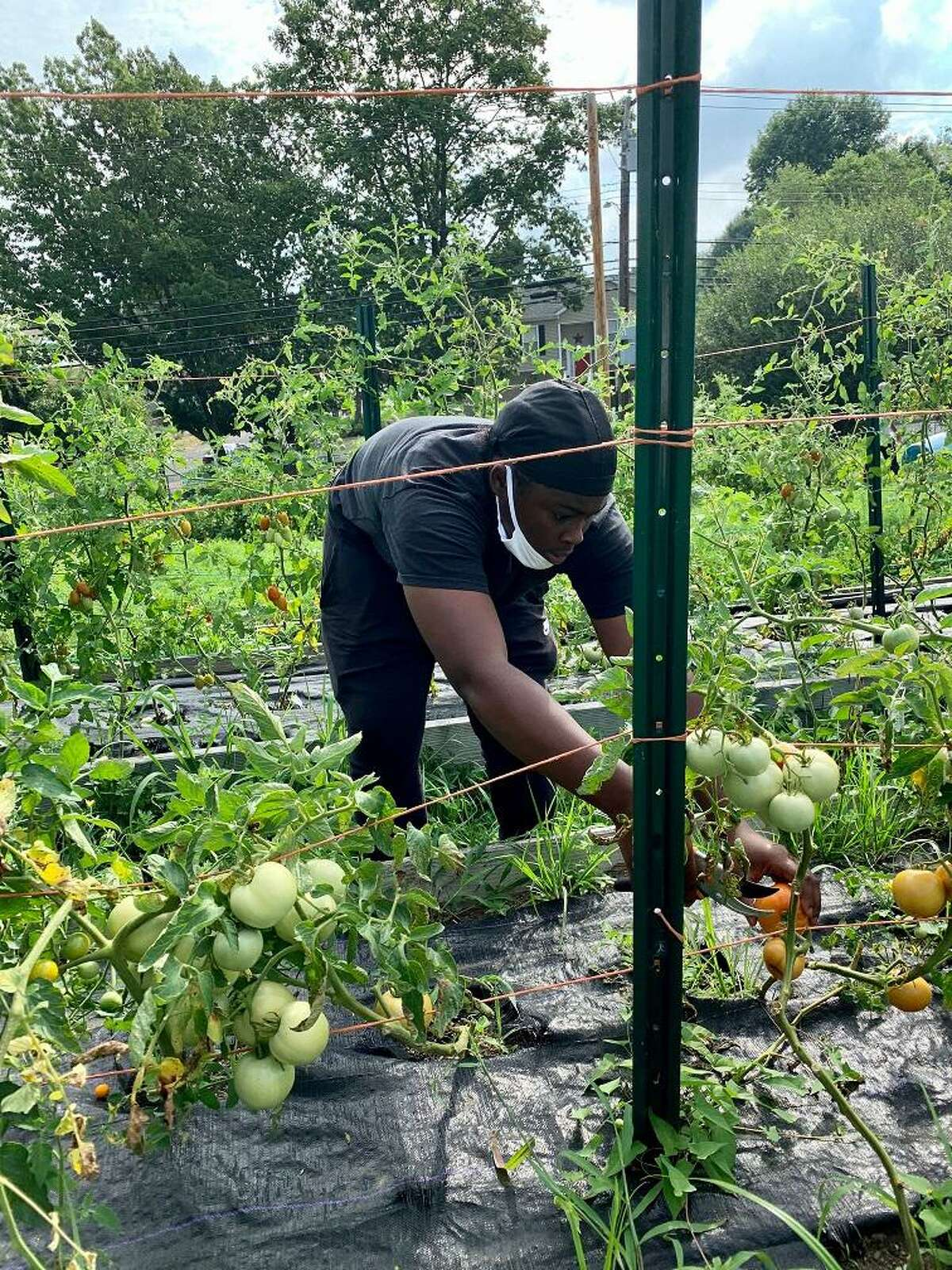 West Haven High School Senior Maya Angela Wheeler harvests tomatoes for GVI's weekly farm stand. Each year the stand produces thousands of pounds of food for the Bridgeport community.
