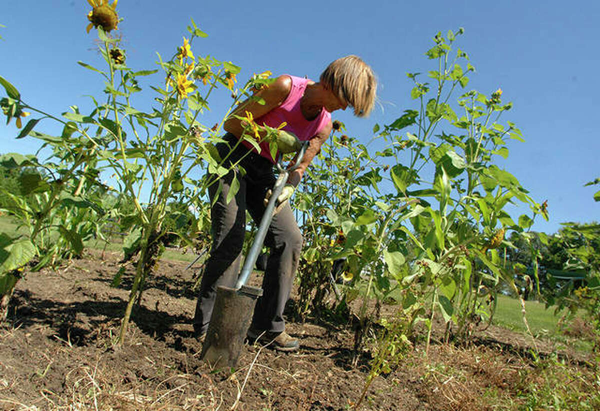 """Jaci Dixon, an employee at the Illinois State University Horticulture Center, digs up weeds around sunflowers at the center in Normal. While the center is """"first and foremost"""" a lab for students and site for research, it is also part of the university's outreach to the community, center coordinator Jessica Chambers said."""
