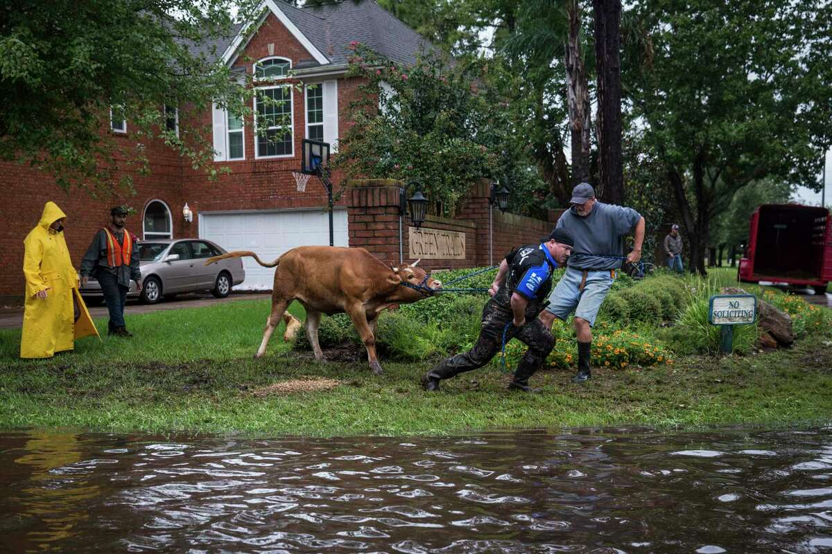 Search and rescue crews wrestle a stray steer to try and put it in a trailer in a flooded neighborhood after the Addicks Reservoir, in Houston, Aug. 29, 2017 after Hurricane Harvey dumped record amounts of rain on the region. Most scientists point to the increase in strength and destruction as an indicator of climate change.(Andrew Burton/The New York Times)