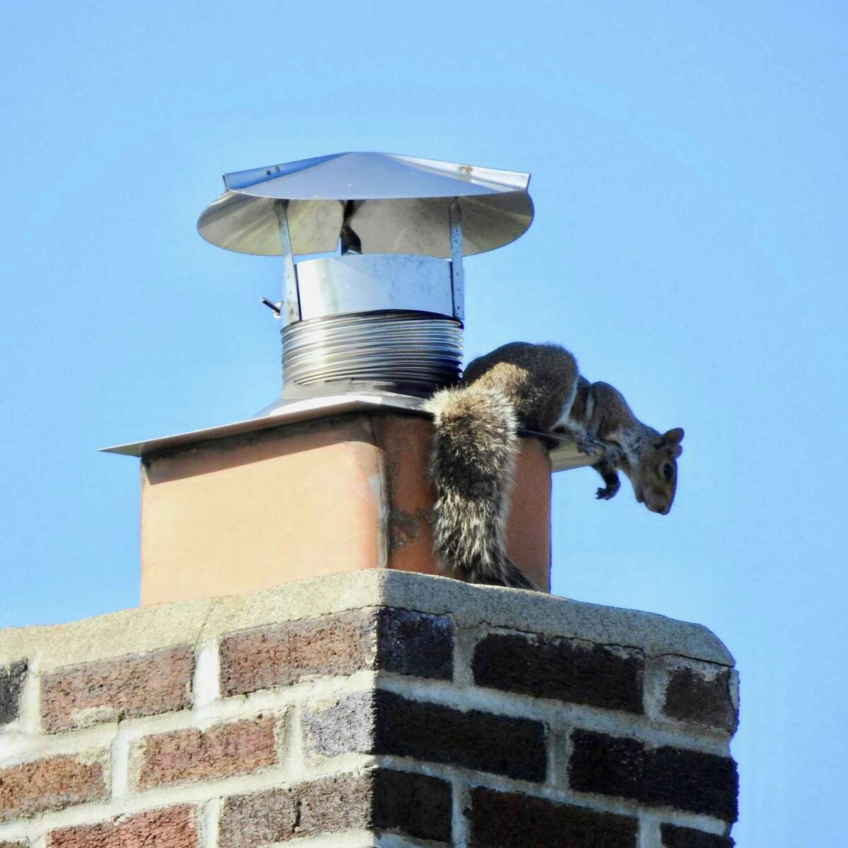 In Colonie, a neighborhood squirrel climbs the chimney every sunset and just hangs out on the top, says the photographer, Barbara Unser.