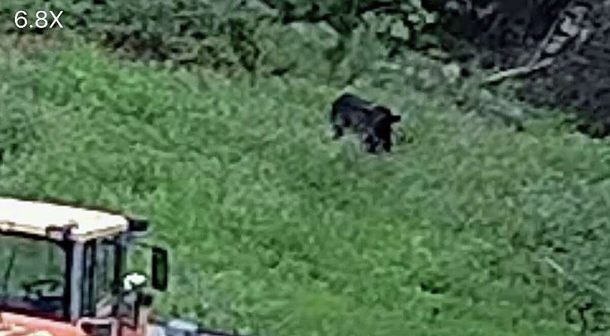 Buddy the Beefalo, seen on surveillance footage in a field in Plymouth, Conn. He has been on the loose in the woods in northwest Connecticut since escaping from a slaughterhouse in early August 2020.