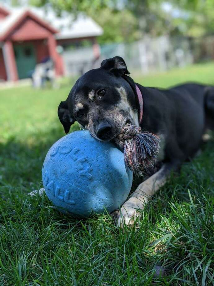 Lucy, a 7-year-old Rottie mix seeks a loving home. Photo: ROAR /Donofrio Family Animal Shelter / Contributed