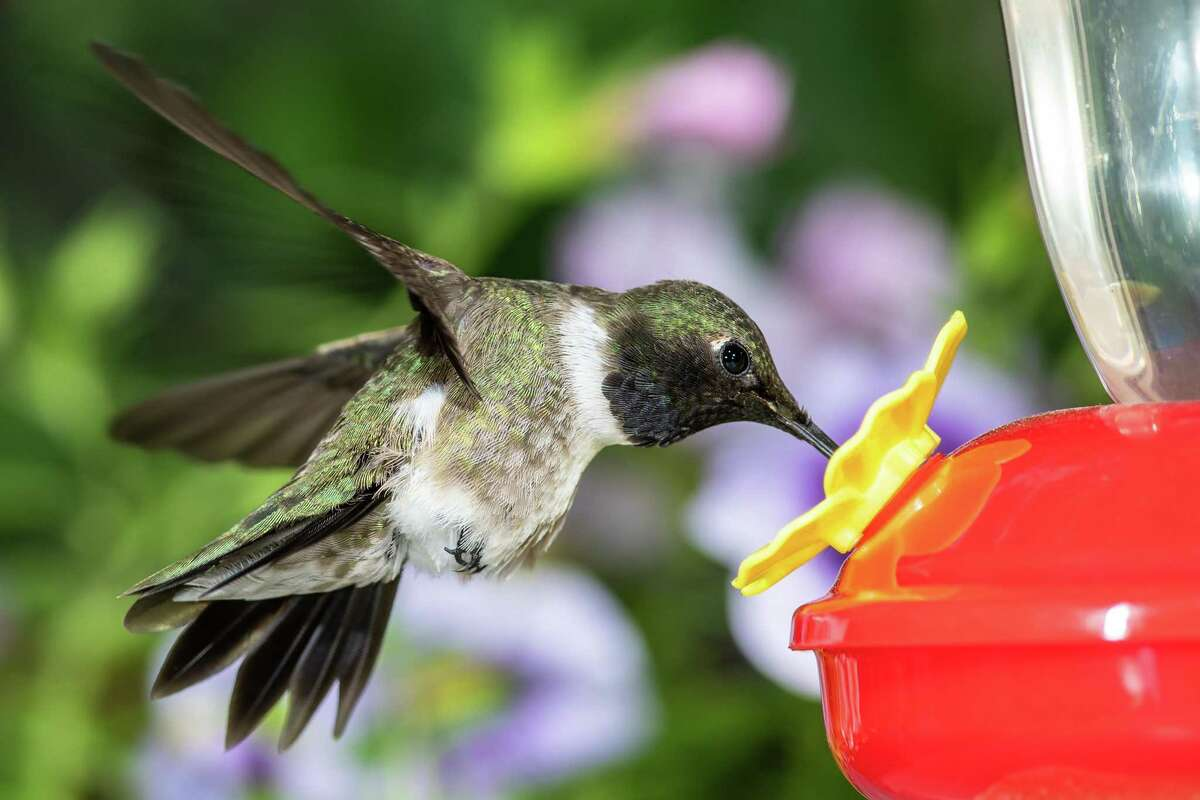 A black-chinned hummingbird arriving at a feeder for a meal. Black-chins love sugar water, which you can make with just ¼ cup white sugar and 1 cup water.