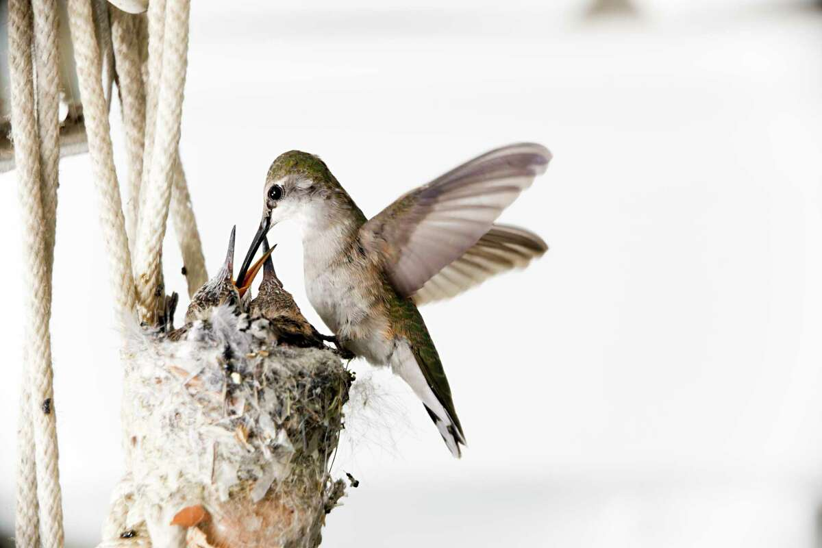 Female Black-chinned hummingbird feeding her young. The two baby hummingbirds are about two weeks old. Black-chinned hummingbirds usually lay two eggs a year.