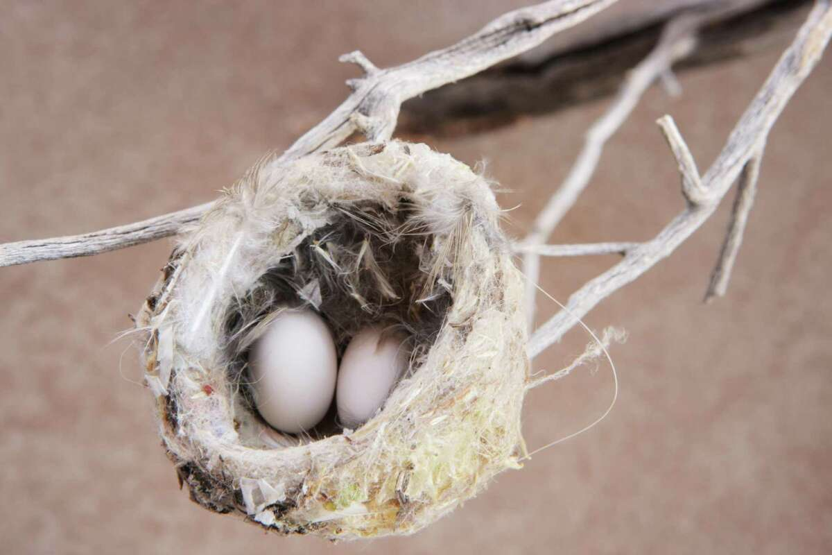 Black-chinned hummingbirds usually lay two eggs a year, and they're about the size of a Tic Tac.