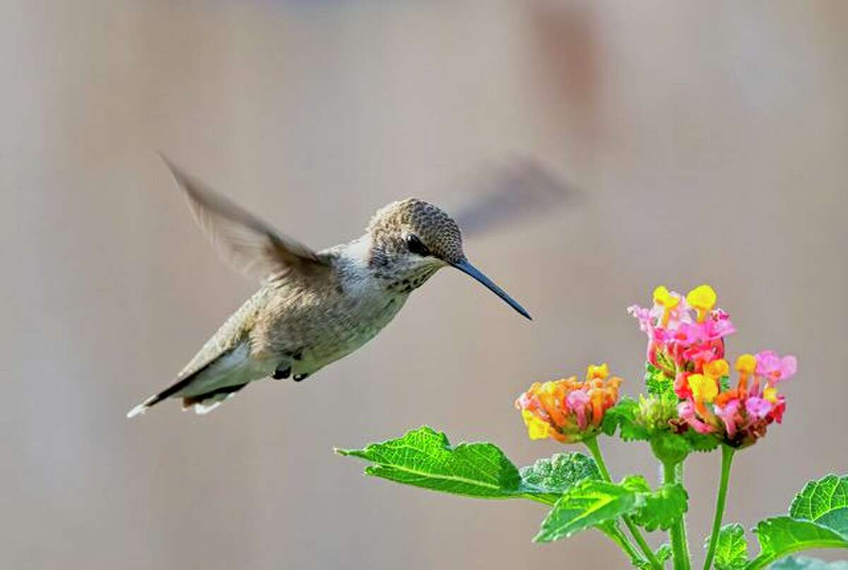 A female black-chinned hummingbird photographed by Eleazar Paredes in San Antonio. Hummingbirds love flower nectar but also feed on gnats and other insects.
