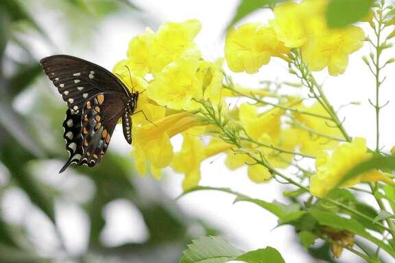 A spicebush swallowtail gets pollen from a yellow bells esperanza plant.
