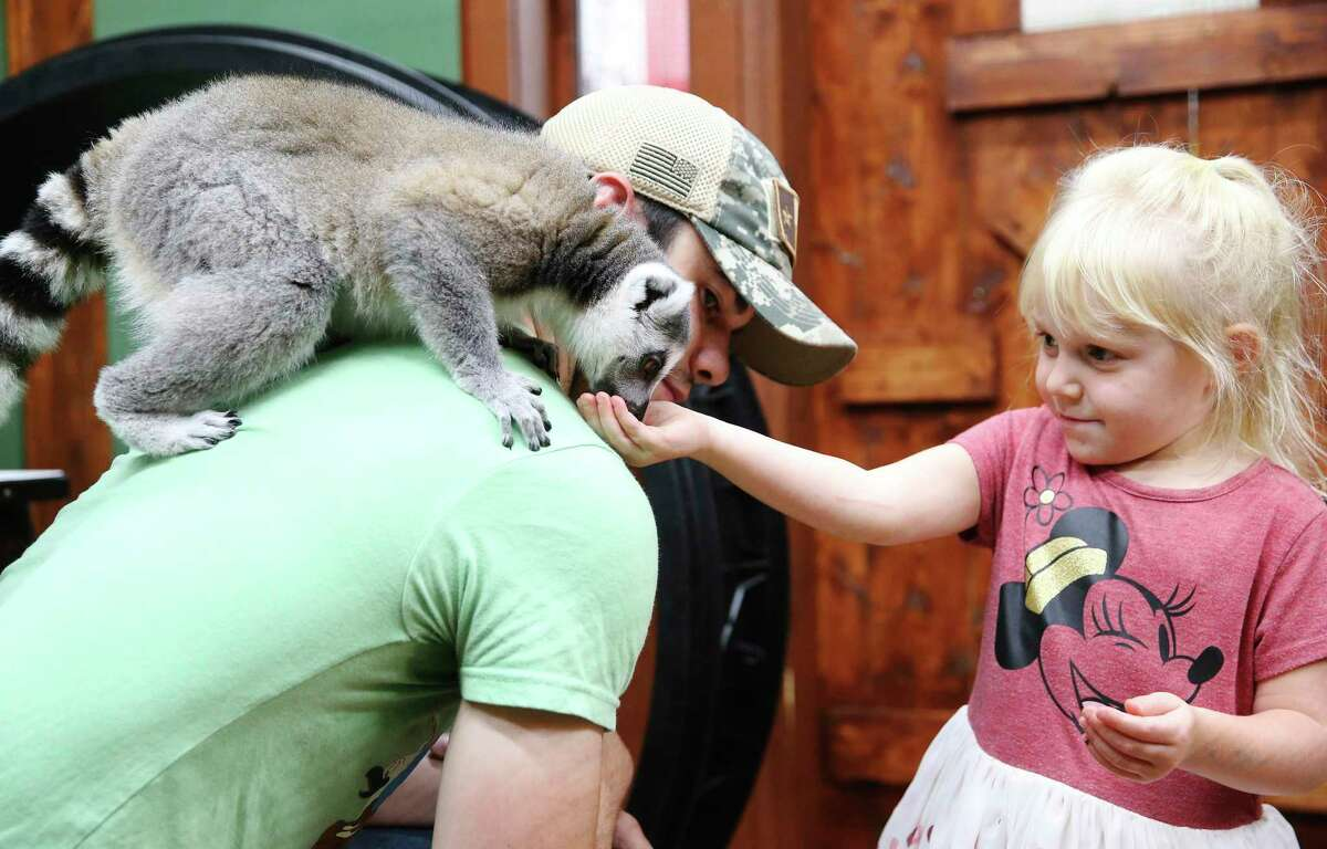 A ring-tailed lemur sits on employee Kyle Byerly as it nibbles on a treat from Sadie Vaughan, 3.