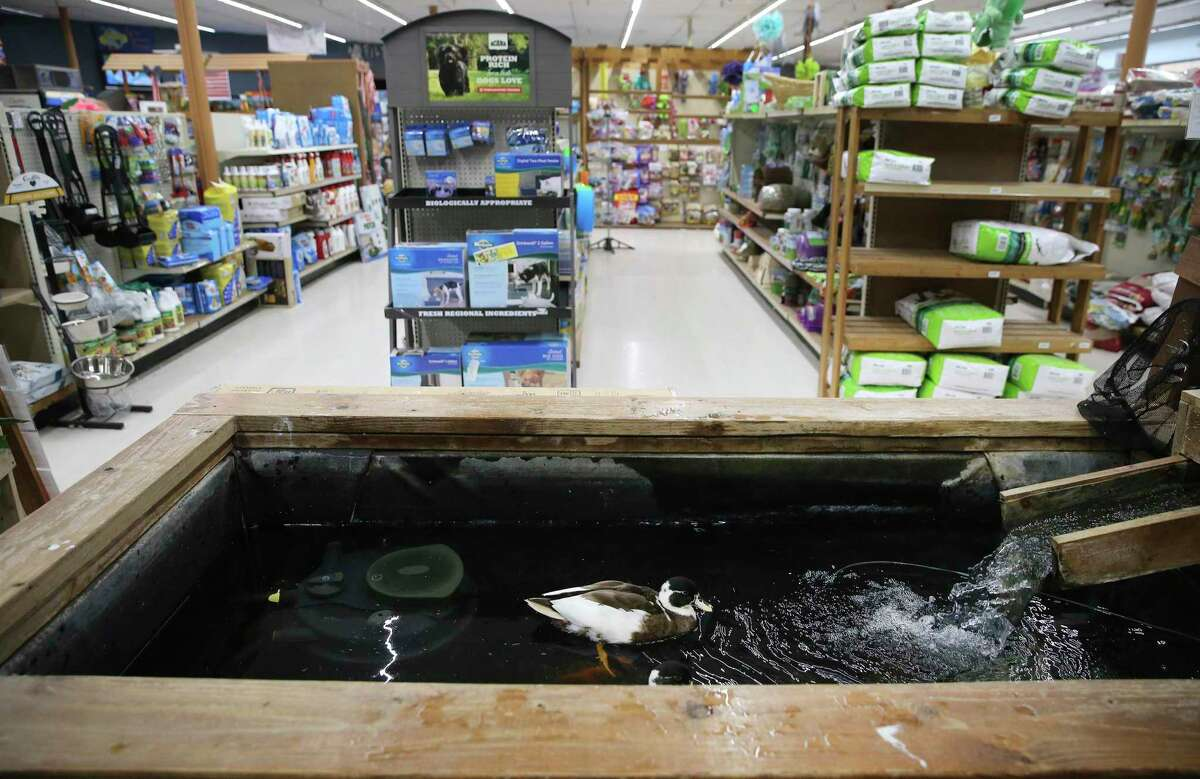 A duck wades in a pond inside Polly's Pet Shop. Steve Housley, owner of Polly's Pet Shop, has been operating in Universal City since 1977. The family-owned and operated business caters to pet owners but also provides experiences with some more exotic animals (they are not for sale) inside his store.