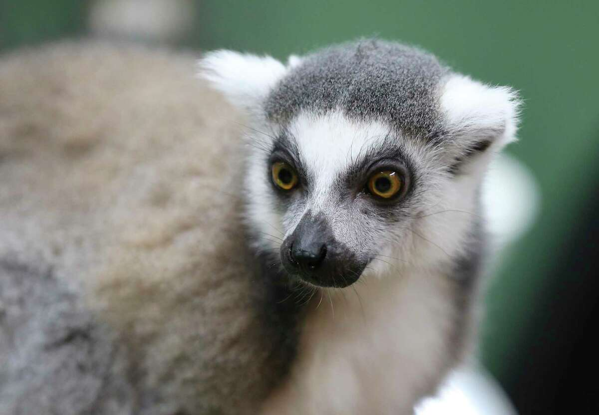 A ring-tailed lemur looks for its next treat at Polly's Pet Shop on Tuesday, Sept. 1, 2020.