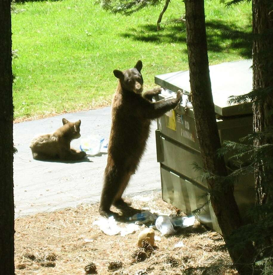 Tensions between bears and humans in Tahoe this summer are running high. Photo: Bear League