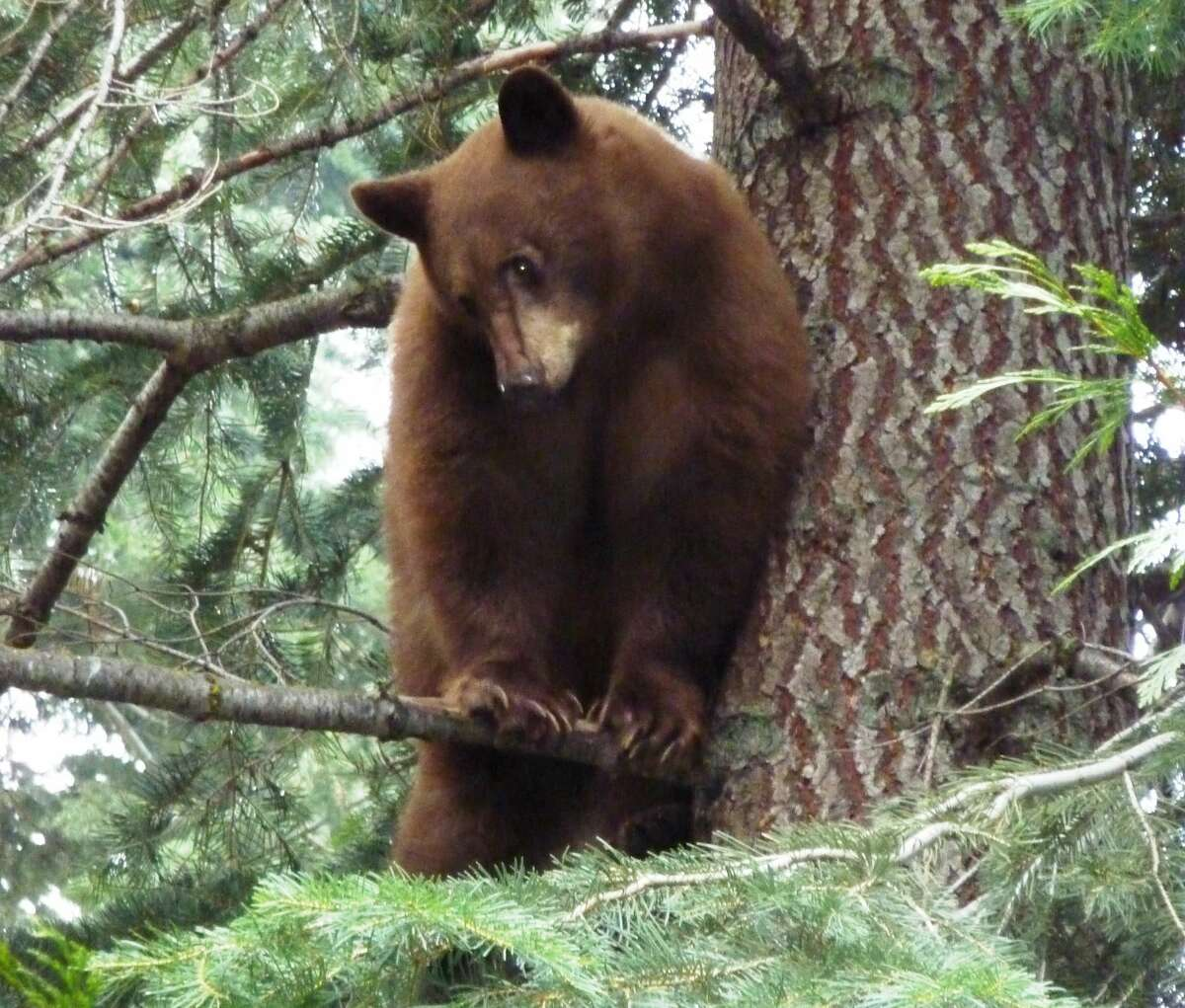 Tensions between bears and humans in Tahoe this summer are running high.
