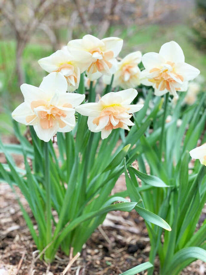 Delnashaugh is one of the most impressive double daffodils with its frilly petals, while early blooming Pink Pride has ruffled cups that start off apricot and gradually turn coral pink. Photo: Photo Credit: Photo Courtesy Of Longfield-Gardens.com|For The Telegraph